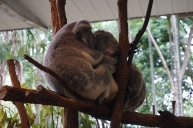 Koalas sleeping
