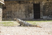 An Iguana in front of Las Monjas, Chichén Itzá