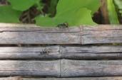 Giant ants.