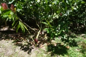 A cocoa tree.