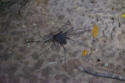 Skorpion spider.