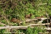 Capybaras.