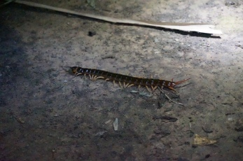 Giant centipede. If bitten you will have pain for 5 hours.