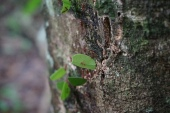 Leafcutter ant. The little ant on the leaf is the guard.